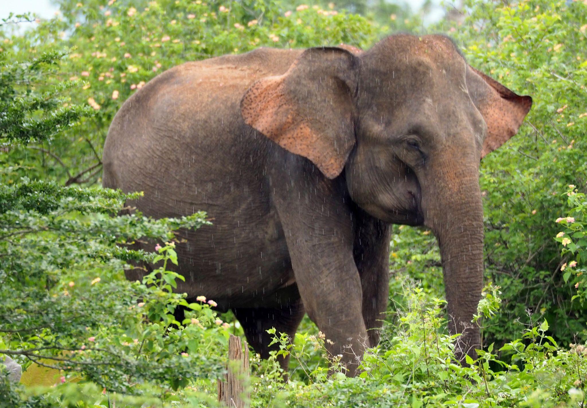 Sole elephant Udawalwe National Park