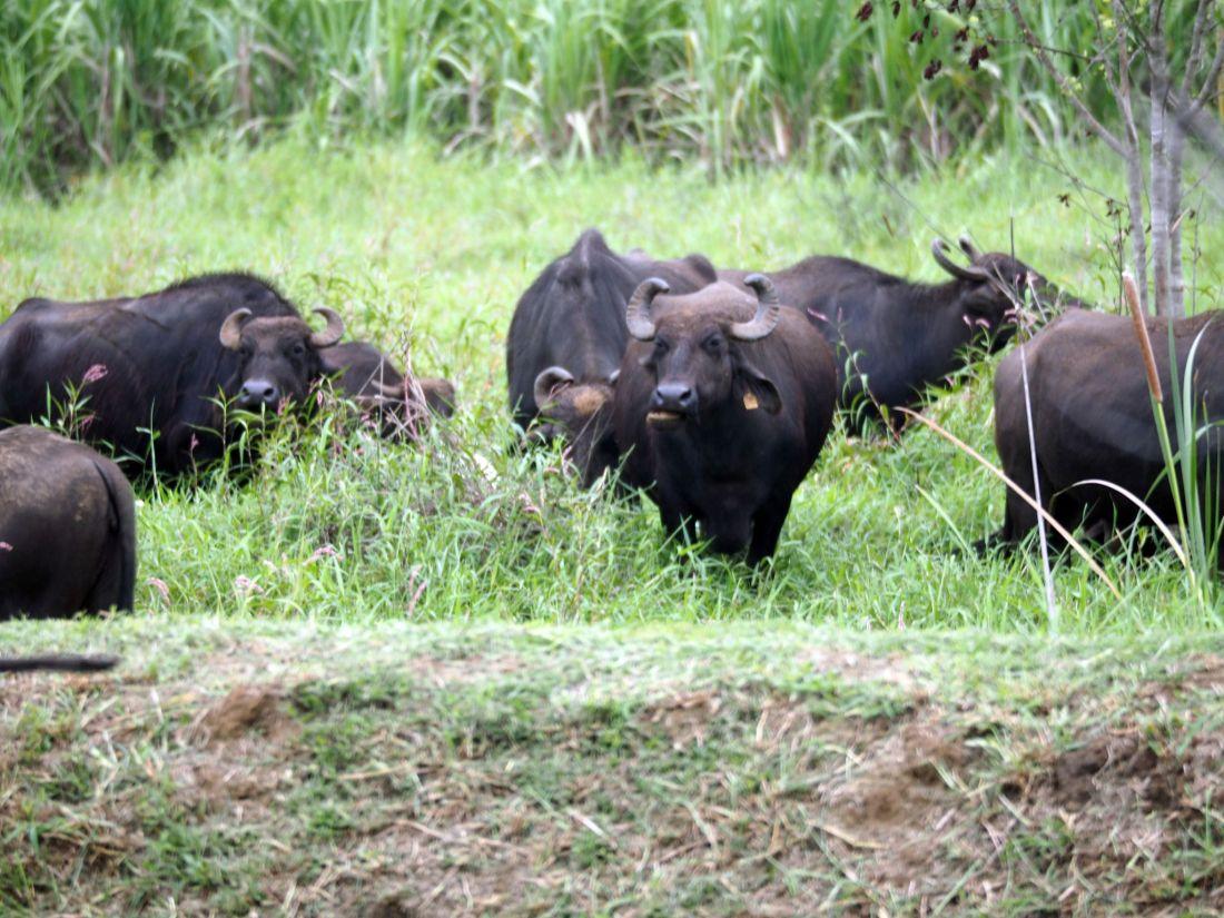 Water buffalo at Master Campers Udawalawe