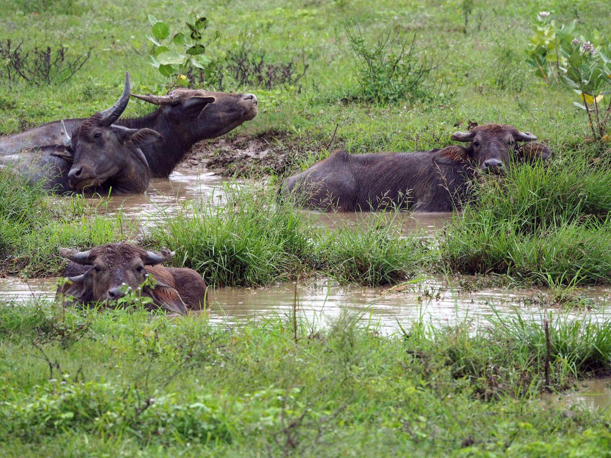 Water buffalo in water Udawalwe National Park