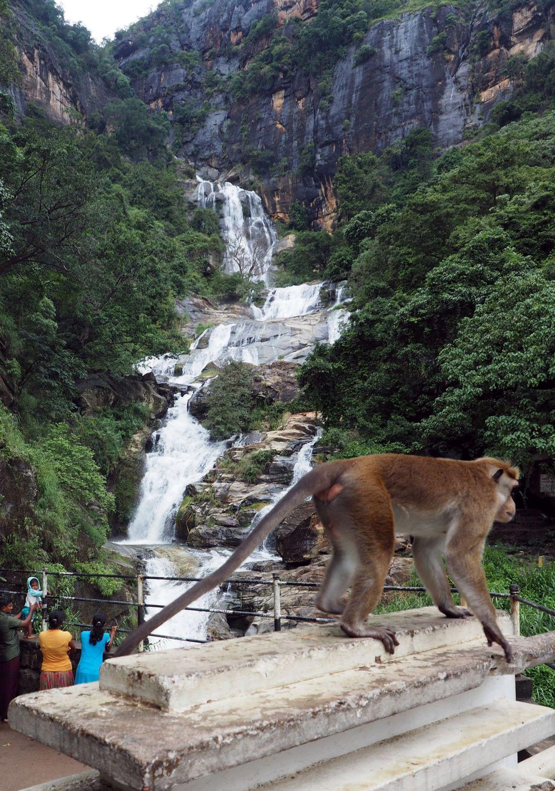 Monkey at Ella Waterfall Sri Lanka