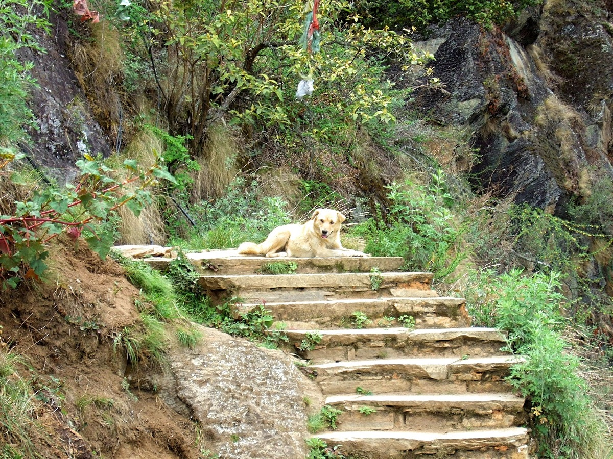 Pooch relaxing on the way to the Taktsang monastery