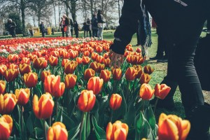 Visiting Tulips in Holland