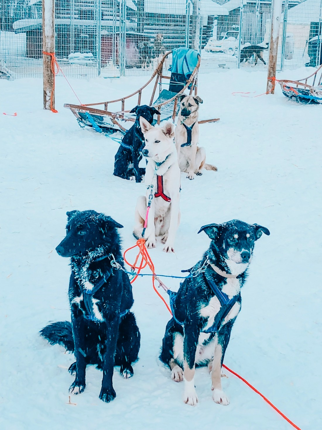 Bearhill Husky Dogs with Sled