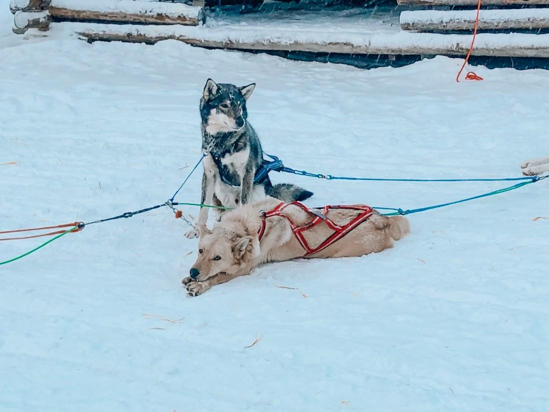 Husky Dogs Bearhill