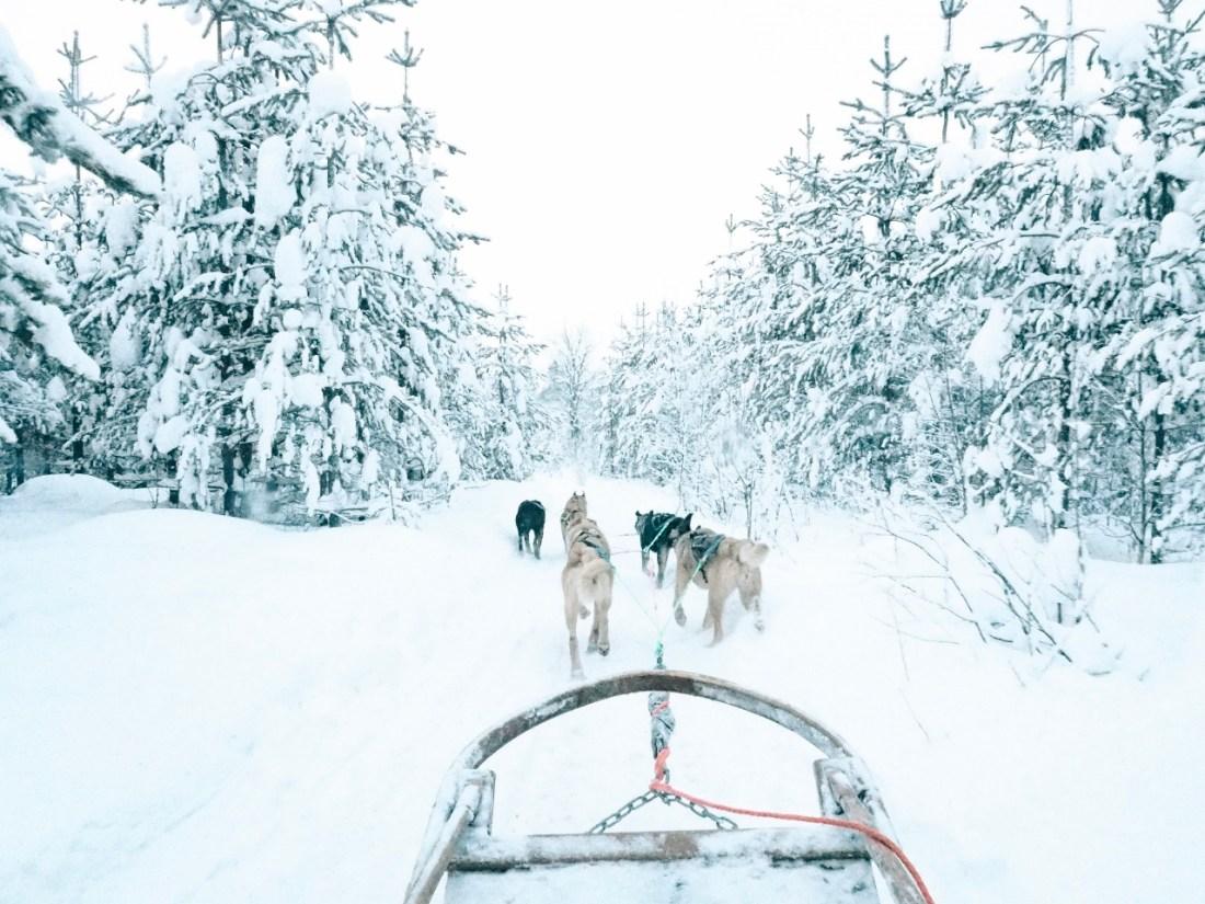 Lapland Dog Sledding Bearhill Husky