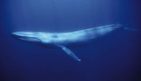 The Great Blue Whale