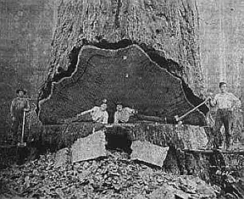 redwood-fallers