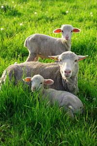 ewe-lambs