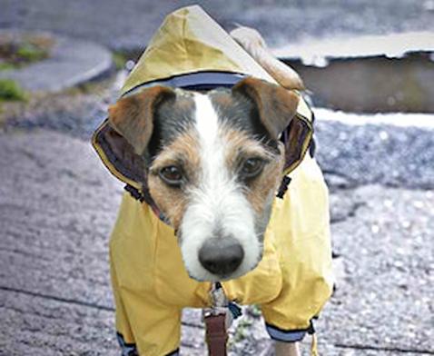 dogwithraincoat2
