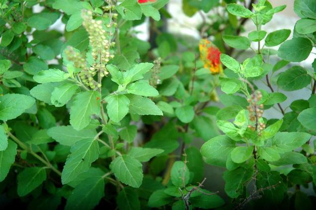 Tulsi plant holy basil