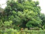 Mango-Tree-with-fruits-1024×768