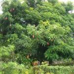 Mango-Tree-with-fruits-150×150