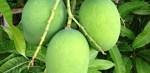 Raw-mangoes-680×330