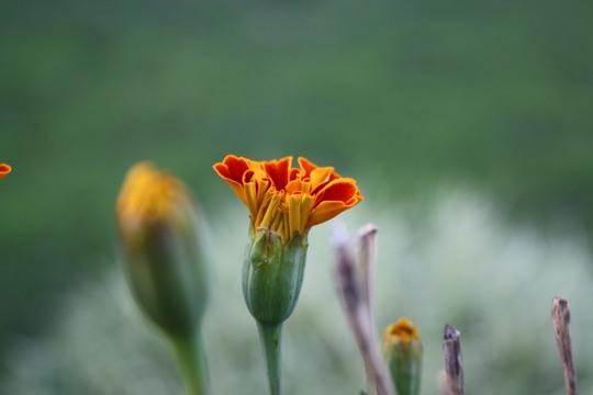 Marigold-bud
