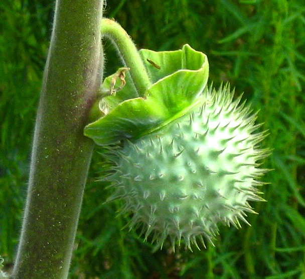 Thorny fruit of Dhatura