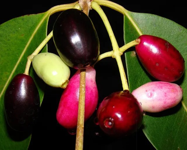 Developing Jamun in different stages