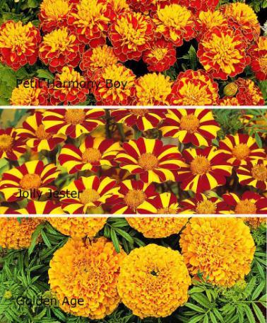 Marigold-flower-with-varieties