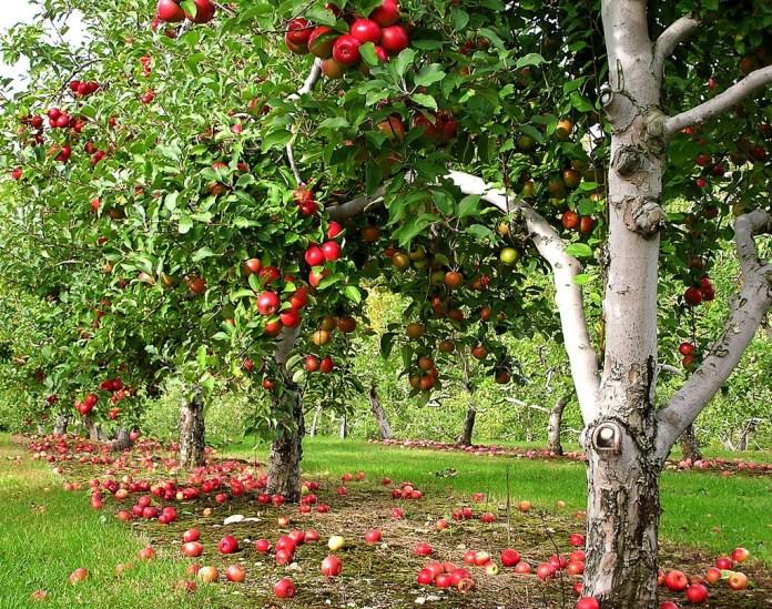 Row-of-Apple-trees