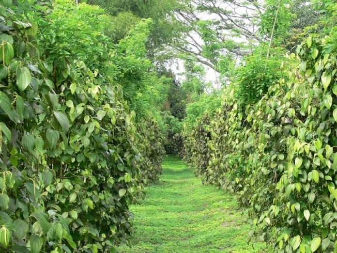 Cultivation-of-long-pepper