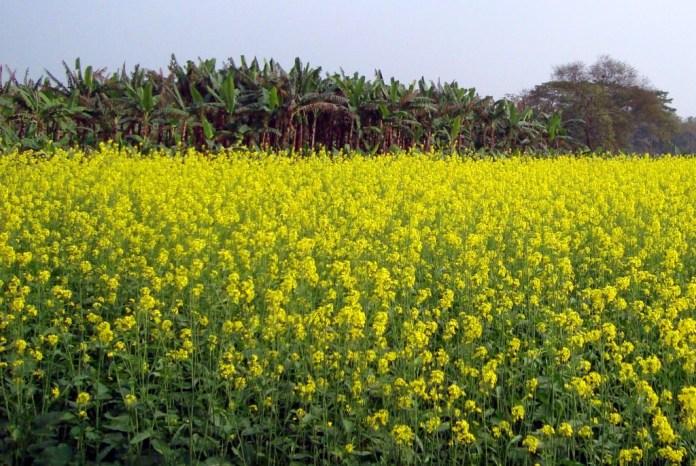 Garden-of-Indian-Mustard