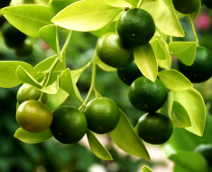 Unripe-lemons-on-tree