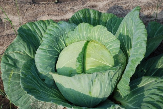 Cabbage-for-health