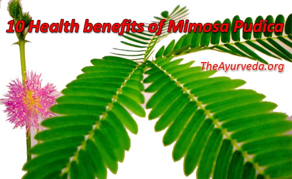 Health benefits of mimosa pudica