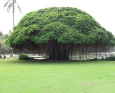 Benefits-of-Banyan-tree