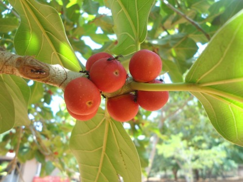 Fruits of Banyan tree
