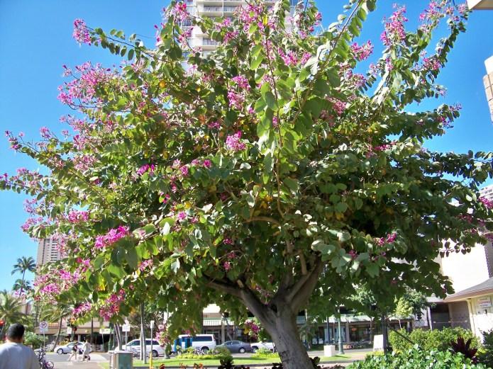 Medicinal plant of Bauhinia