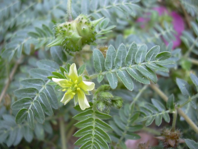 Plant and Flower of Punctured vine or Gokhru