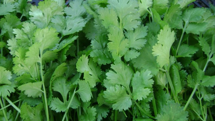 Coriander leaves for kidney