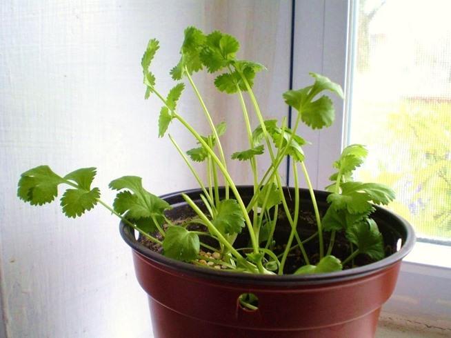 Growing cilantro