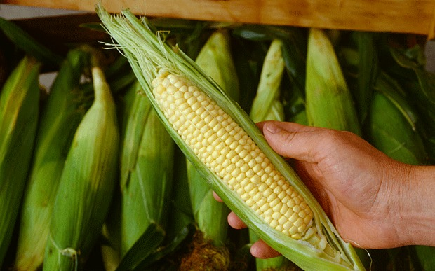 Corn in Ayurvedic food