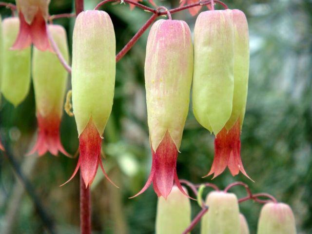 flowers of bryophyllum plant