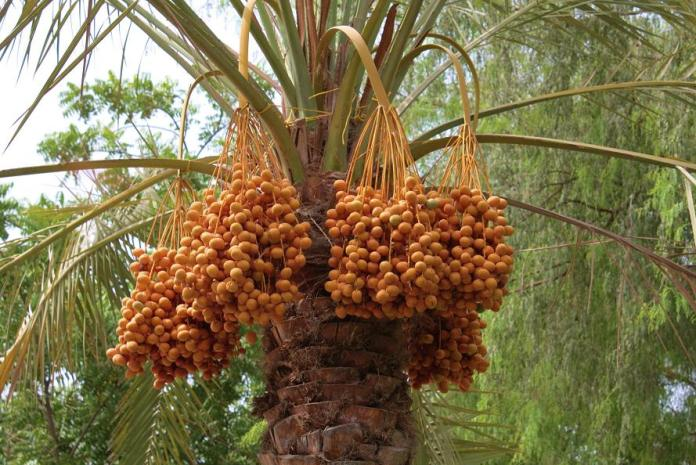 ripe date on tree
