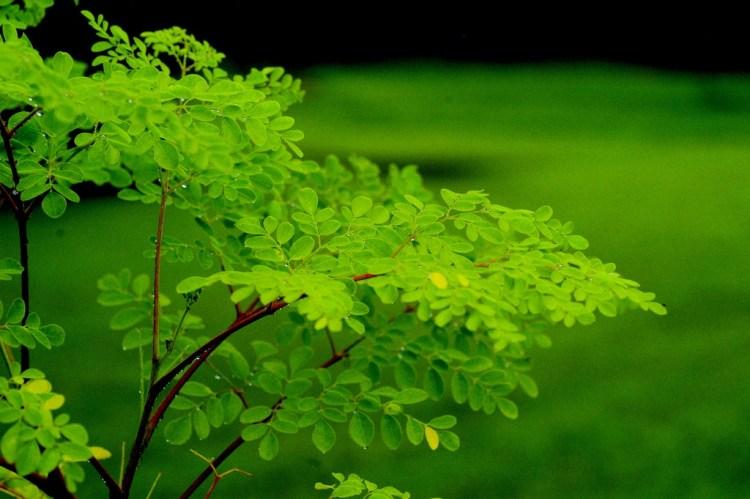 leaves of moringa