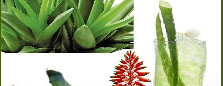 Top 10 Health Benefits of Aloe Vera | Top 10 Home Remedies