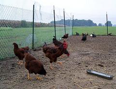 chickenpen1