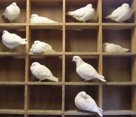 raising backyard pigeons for meat. Flock of white squabbing pigeons in nest box.