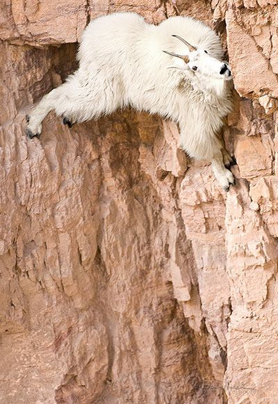 A Rocky Mountain Goat Clings Precariously to the side of a vertical mountain cliff, while searching for a mineral lick.