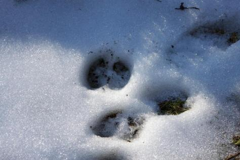 A close-up photo of elk tracks in the melting snow