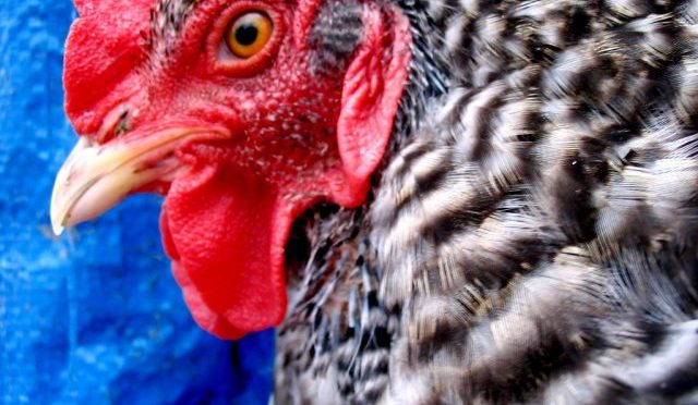 Permissions To Come, Or the Saga of The Backyard Chicken