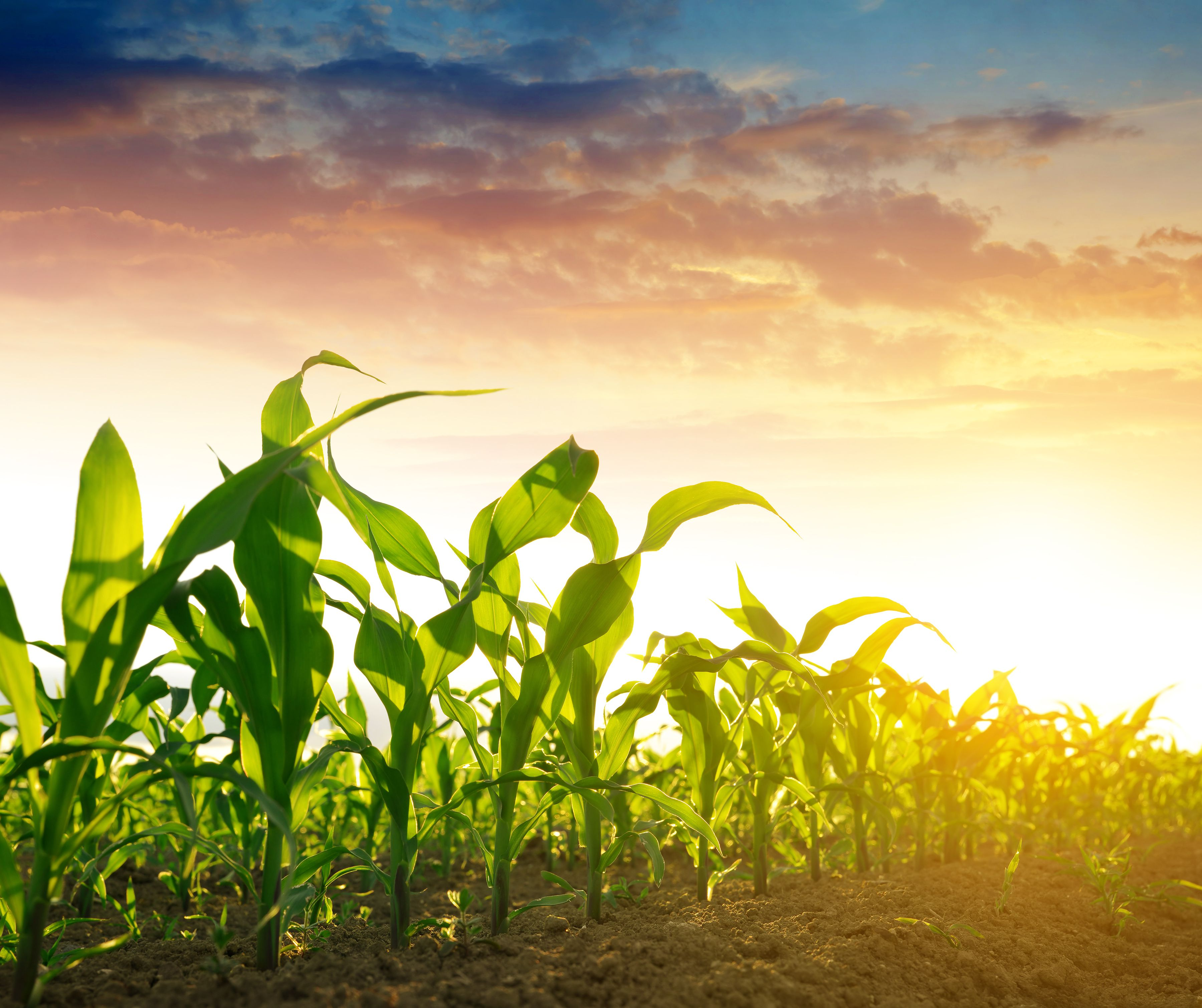 Corn versus Soybeans The Farmers Choice