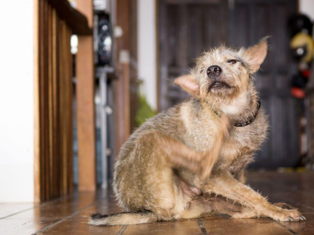 How Long Do Fleas Live In Your Carpet   Review Home Decor