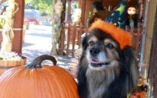 Tibetan Spaniel wearing witch hat next to Halloween pumpkin