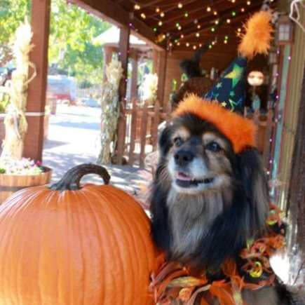 Tibetan Spaniel wearing witch hat next to Halloween pumpkin