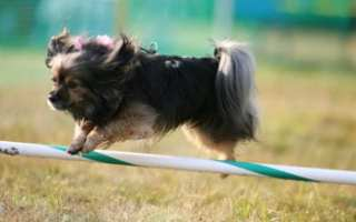 Little dog jumping over pole for exercise image
