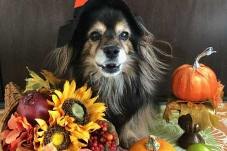 Little dog dressed up in pilgrim hat surrounded by Thanksgiving decor