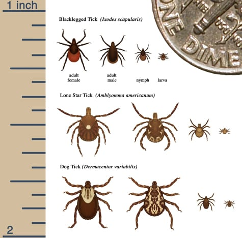 CDC infographic of blacklegged tick lone star tick and deer tick